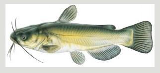 image of Black Bullhead Fish schafer fisheries