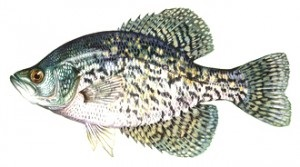image of Black Crappie Fish Schafer fisheries