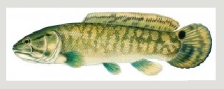 image of Bowfin Fish schafer fisheries