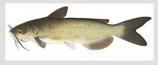 image of Channel catfish Schafer fisheries