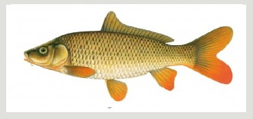 image of Common carp fish schafer fisheries