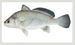 Image of Freshwater Drum Fish schafer fisheries