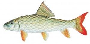 image of Freshwater sucker fish Schafer fisheries
