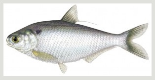 Image of Gizzard shad fish Schafer fisheries