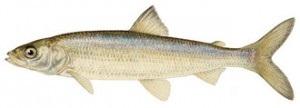 image of Lake herring fish Schafer fisheries