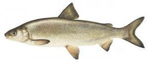 Image of Lake White fish Schafer fisheries