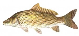image of Large Gold Fish Schafer fisheries