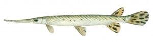 image of Longnose Gar Fish schafer fisheries