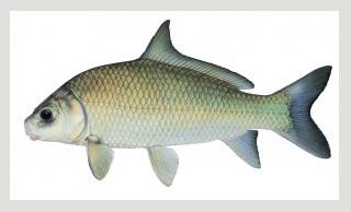 Image of Smallmouth buffalo fish schafer fisheries