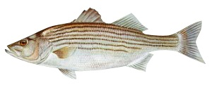 image of Striped boss fish Schafer fisheries