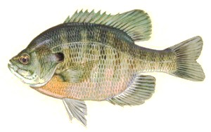image of Sun perch fish schafer fisheries