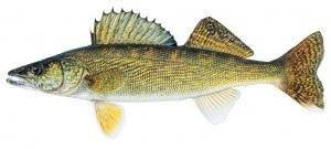 image of Walleye fish Schafer fisheries