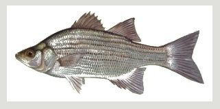 image of White Bass fish Schafer fisheries