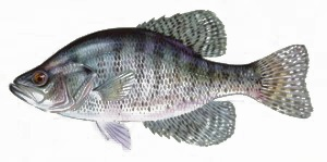 image of White crappie fish schafer fisheries